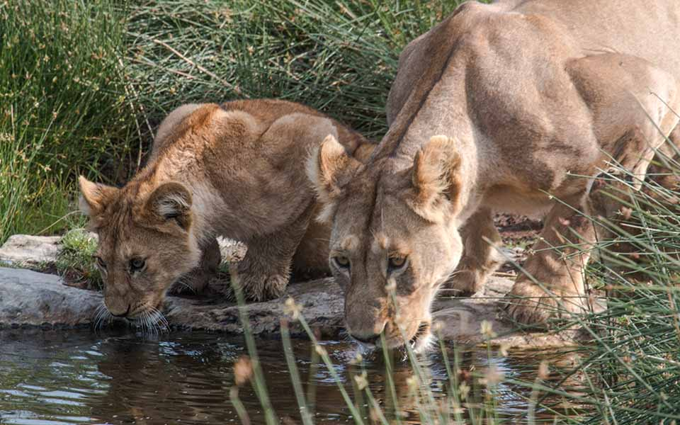 Lion and cub drinking water in Africa