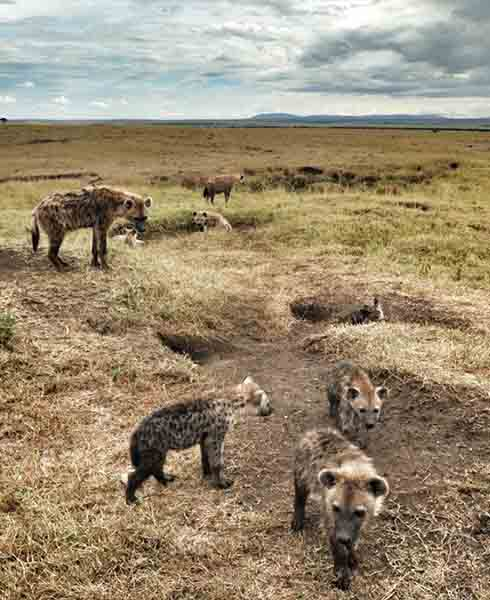 hyenas looking for prey in africa