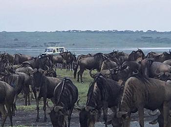 Wildebeest crossing the Lake Ndutu