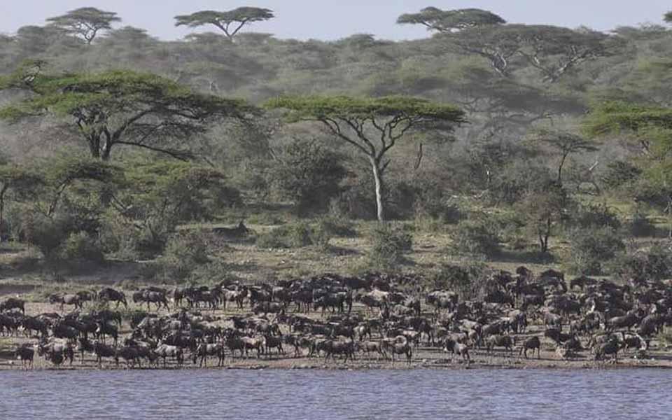 great wildebeest on the lake masek