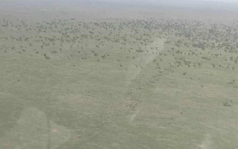 large herd of the wildebeest looking like ants in the distance