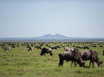 Wildebeest and zebra grazing of the southern Serengeti, Ndutu and Ngorongoro Conservation area