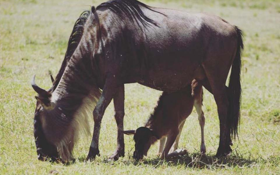 Wildebeest mother and calve grazing