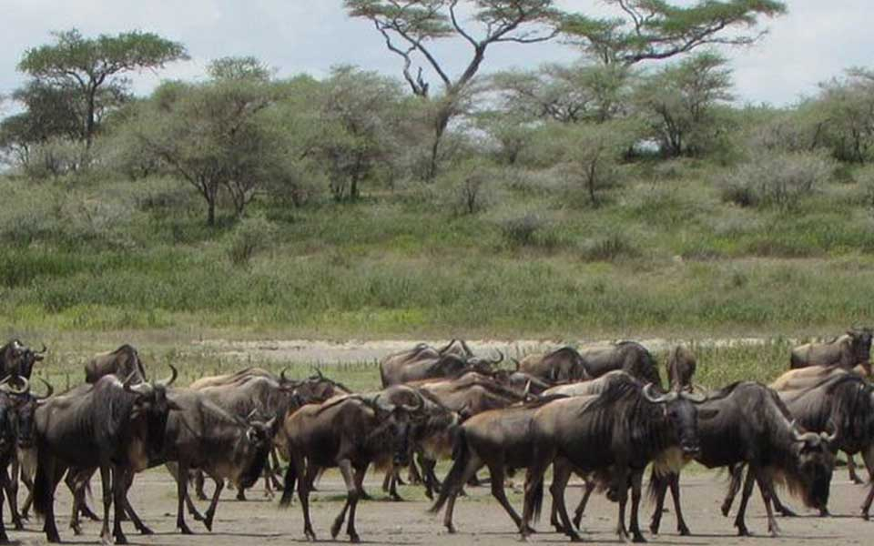 wildebeest heading towards the southern part of Makao.