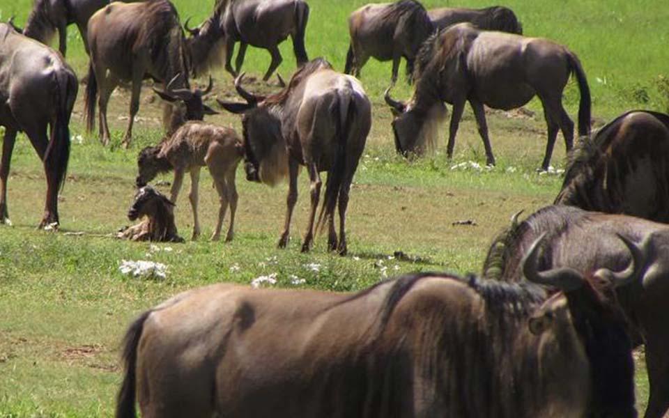 Wildebeest migration calving
