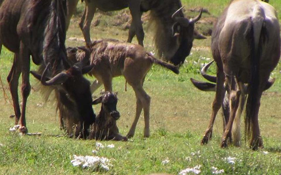 Wildebeest migration new born calves