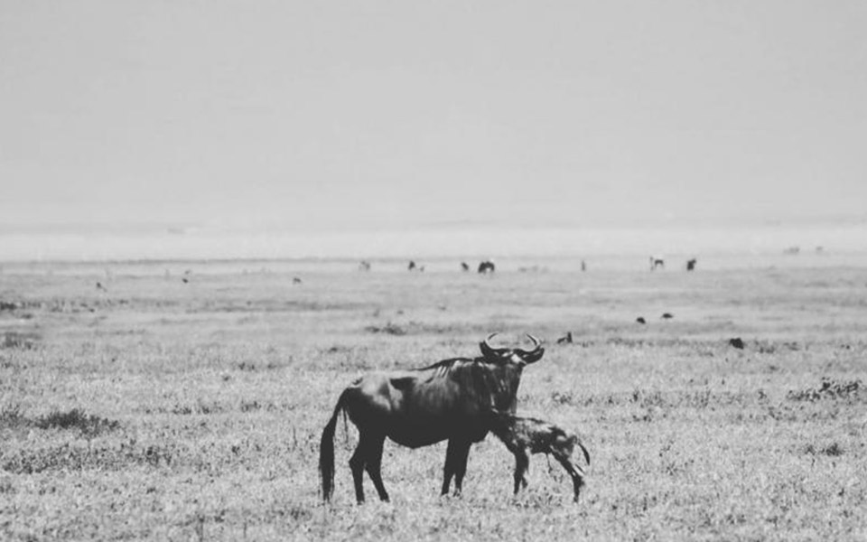 Wildebeest mother and calve