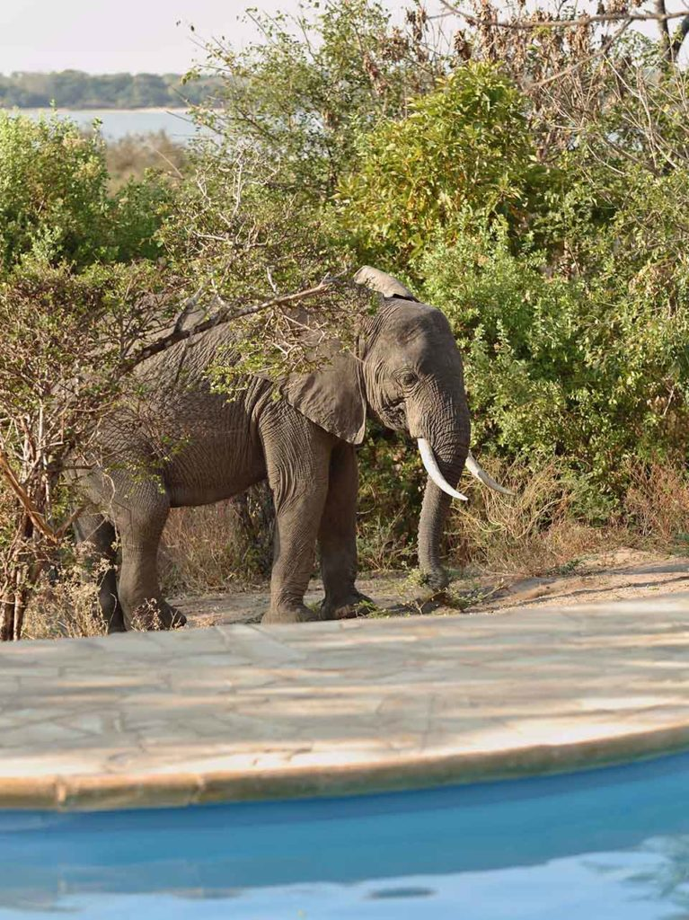 An elephant stops by for a visit to Roho ya Selous' pool.