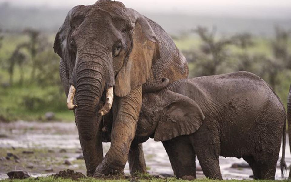 Elephant and calve playing in the mud.