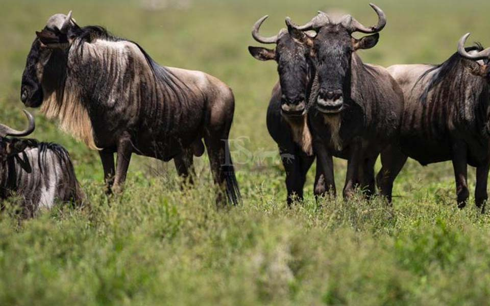 Wildebeest migration in the southern plains of the Serengeti roaming in the hills