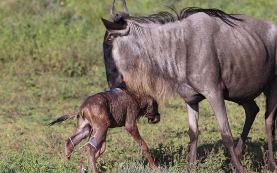 a newborn wildebeest learning how to walk soon after birth