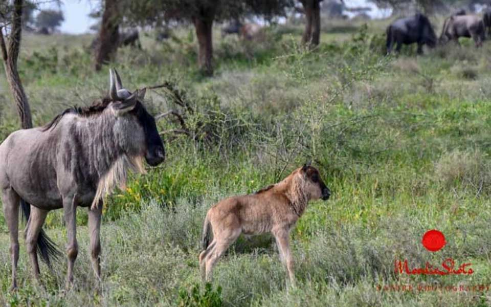 wildebeest mother and calf in the Ndutu area, Tanzania during the Great Migration.