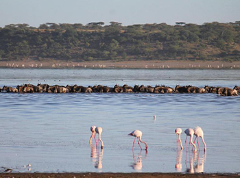 great wildebeest migration crossing the lake ndutu surrounded by flamingos
