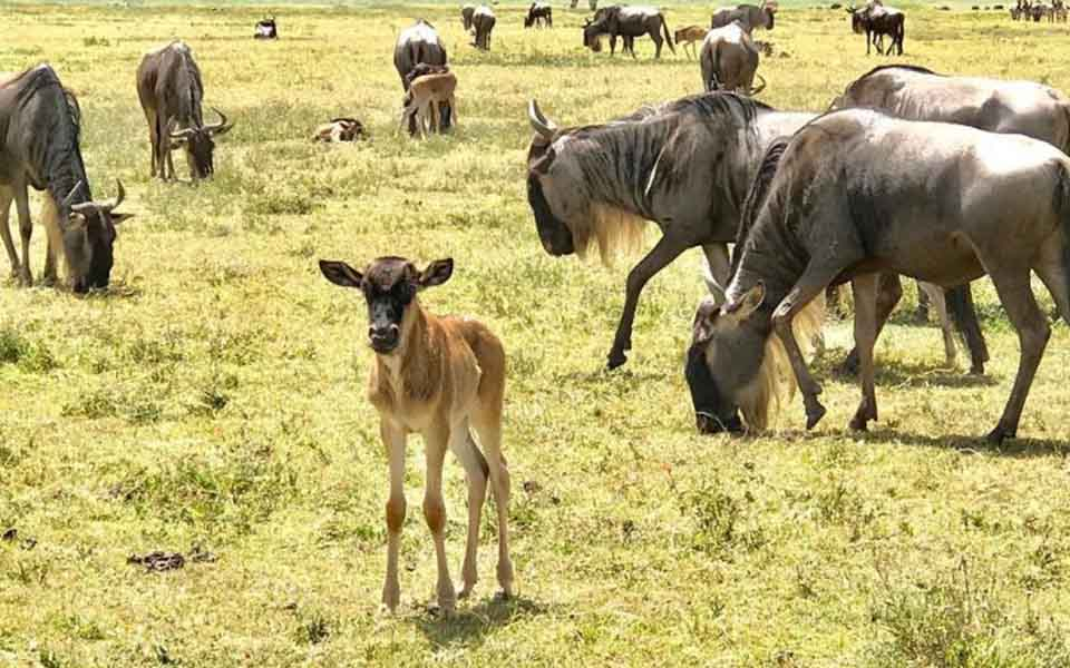 wildebeests and their calves grazing