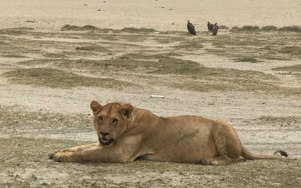 lioness spotted on safari