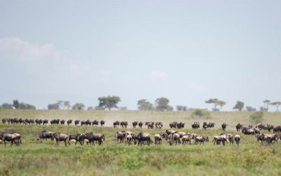 grazing wildebeest in tanzania