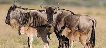Wildebeest mothers and calves spotted during the migration.