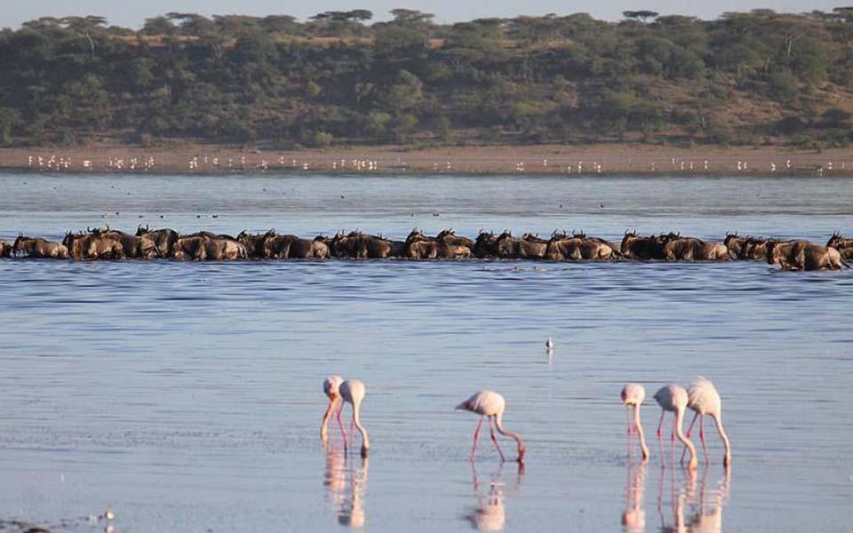 great wildebeest migration crossing the lake ndutu