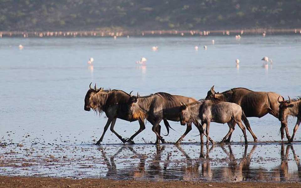 great wildebeest migration in the lake ndutu