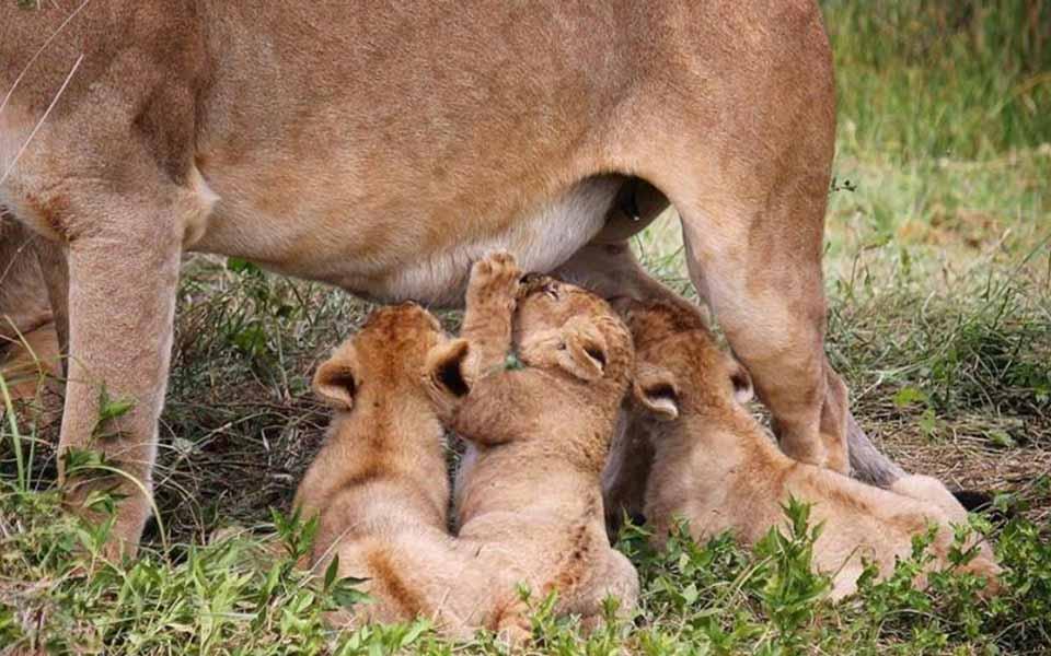 Lion cubs during the calving season