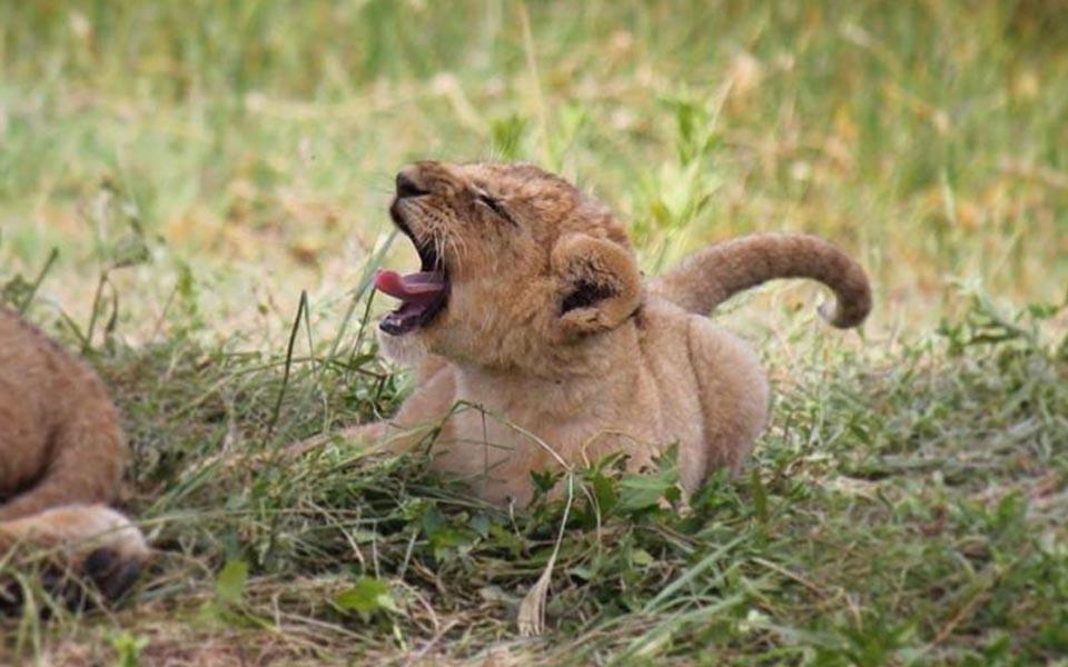 lion cubs on safari in the Serengeti