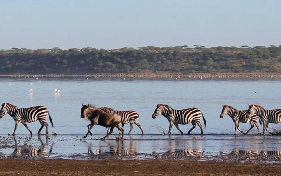 Zebra and wildebeest in lake ndutu