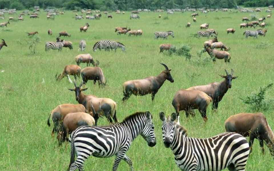 zebras and topi in the Serengeti