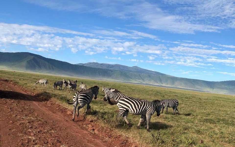 zebras grazing in the Ngorongoro conservation area