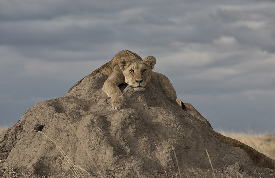 A lazy lioness slumps over a kopje in the Serengeti.