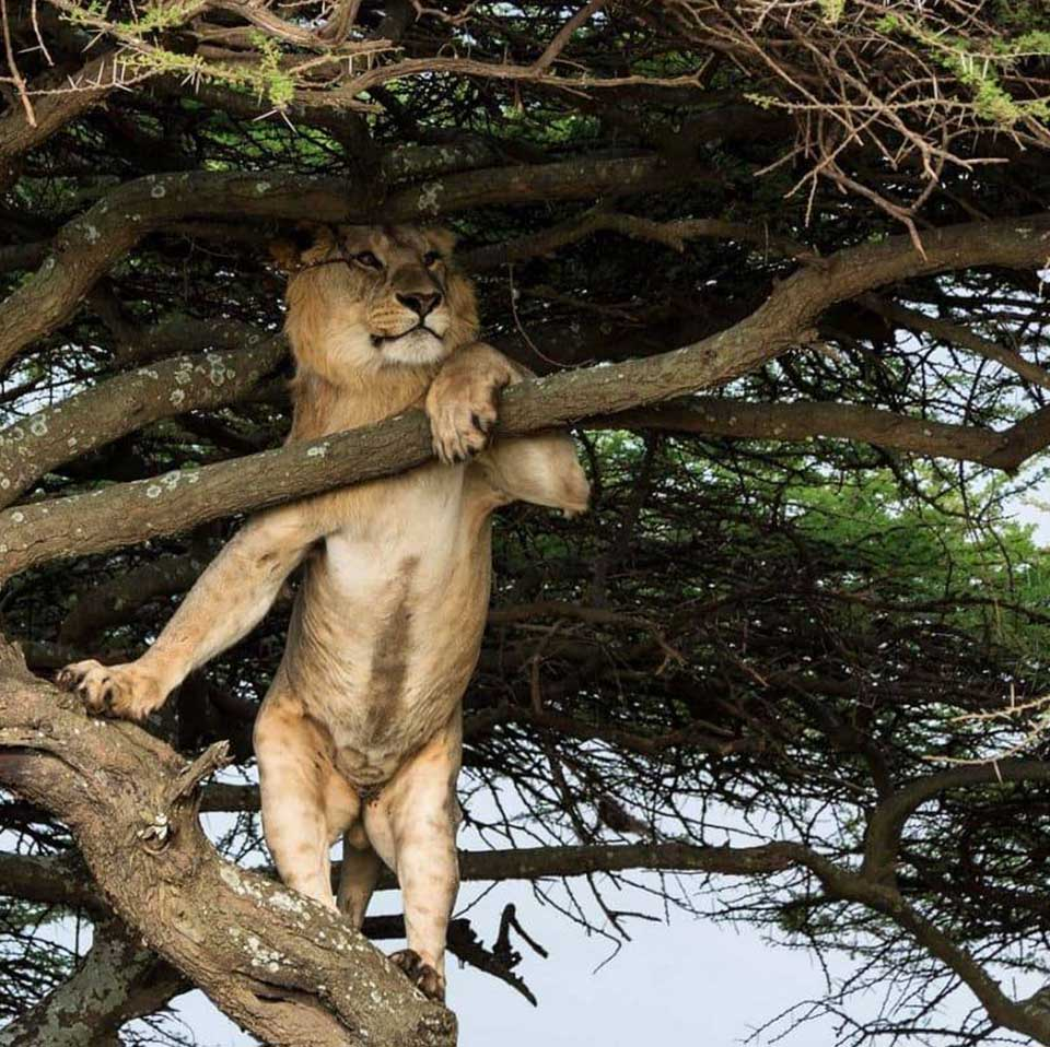 A male lion strikes a seductive pose in a tree.