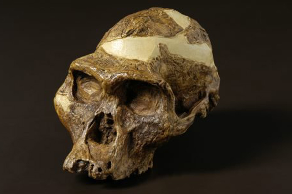 The skull of the Australopithecus africanus. Photo credits: the Australian Museum