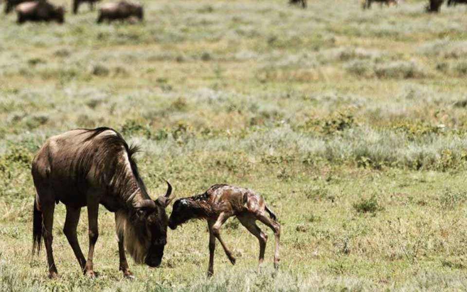 baby wildebeest in the ngorongoro crater