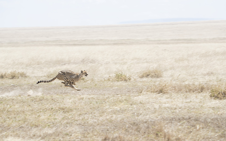 A cheetah speeds past this guest as its on its way to catch its next meal.