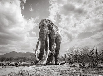 "East Africa's Super Tuskers : The Last Photos of The ""Elephant Queen"""