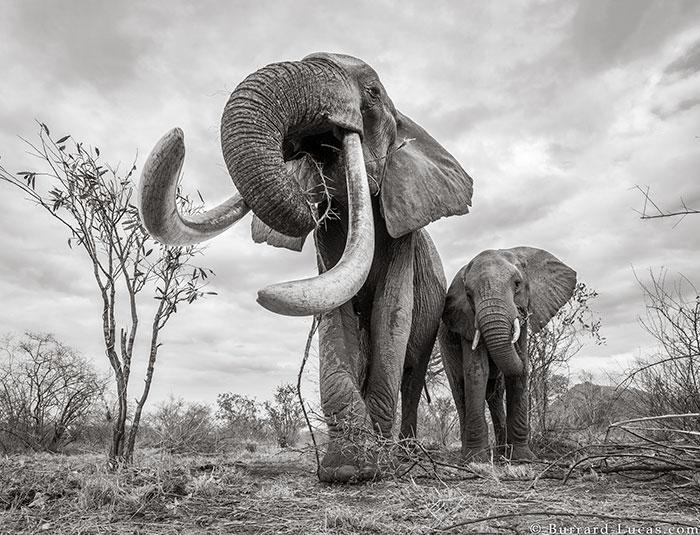 cow-elephant-queen-tusker-will-burrard-lucas-tsavo-kenya