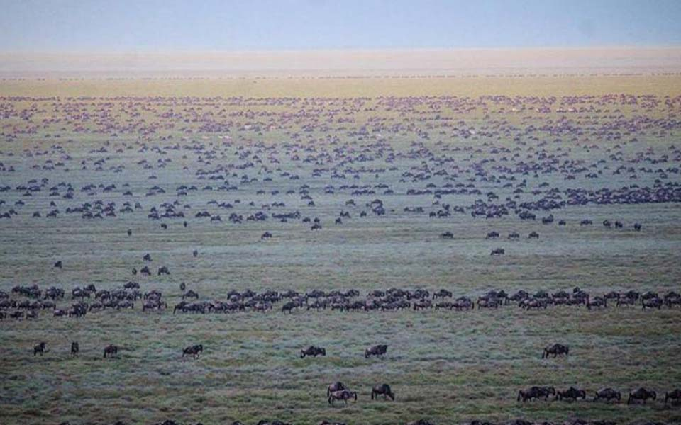 thousands of wildebeest spotted during a balloon safari