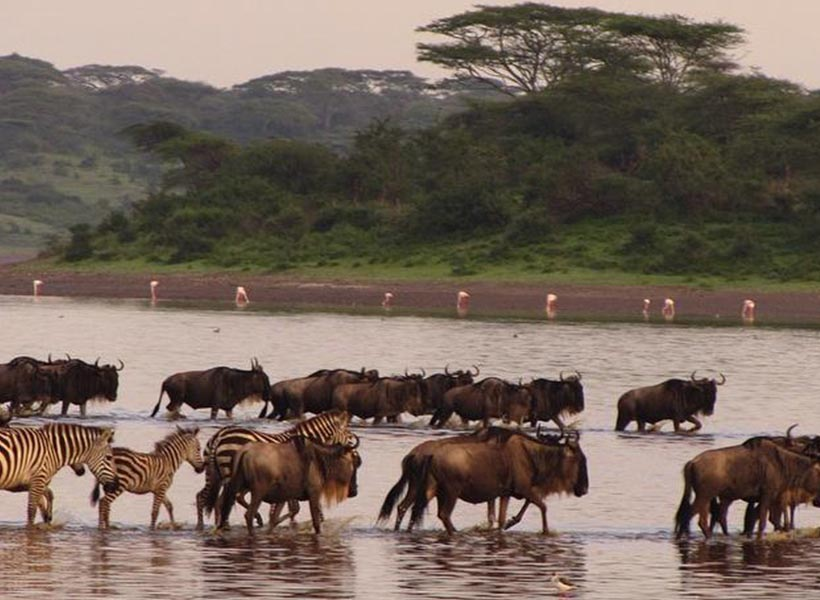 wildebeest spotted crossing the lake on a guided safari during calving season
