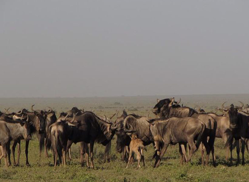 wildebeest spotted on a guided safari during calving season