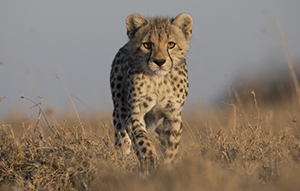 A cheetah cubs makes its way through the grassy plains.