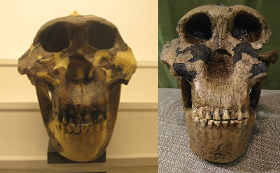 fossils of east africa, skull of the false nutcracker man found by Mary Leakey at Olduvai Gorge