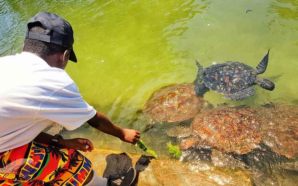 twende baharini turtle feeding time