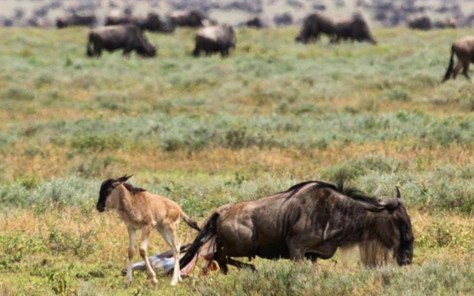 wildebeest giving birth in the ndutu plains