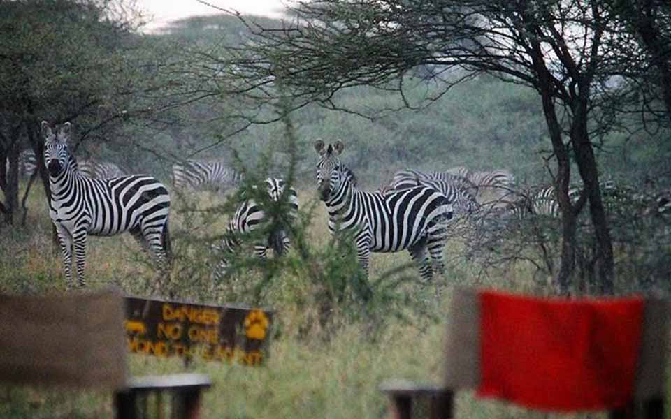zebras spotted on safari during great migration