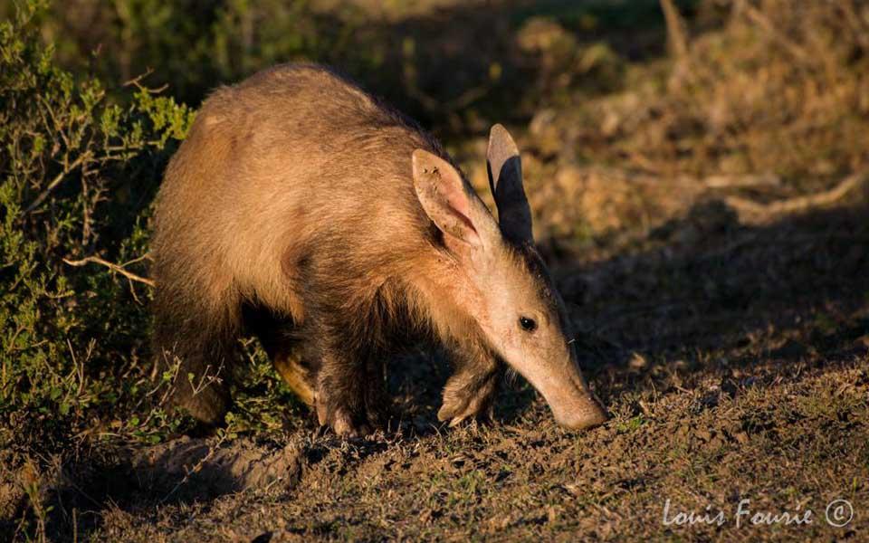 Aardvark - Louis Fourie