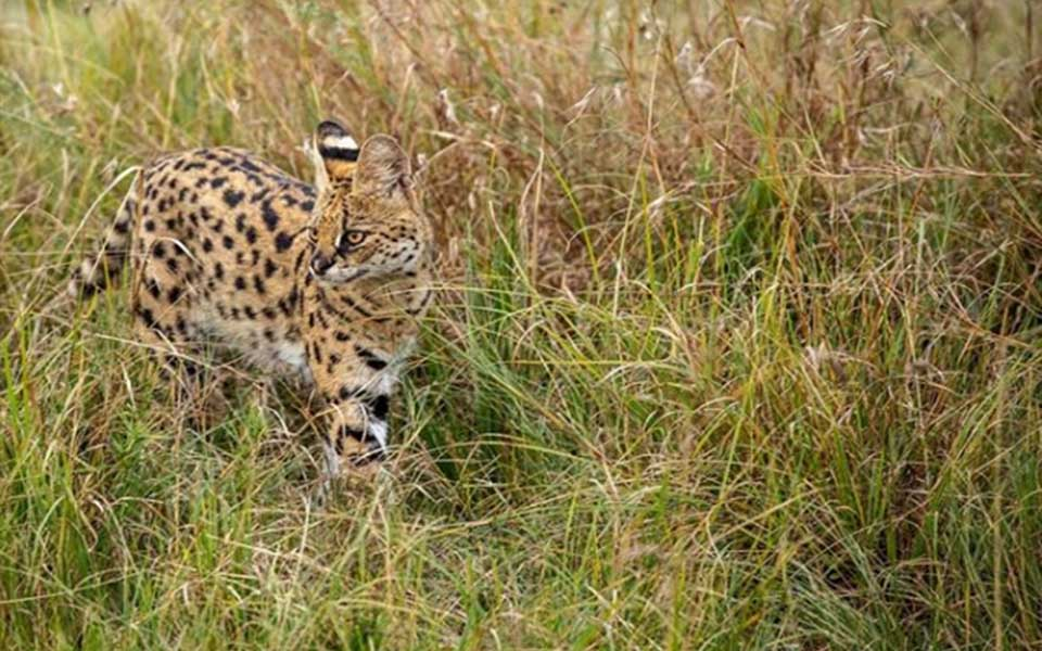 gorgeous serval seen close to Rekero Camp, making its way through the tall grasses