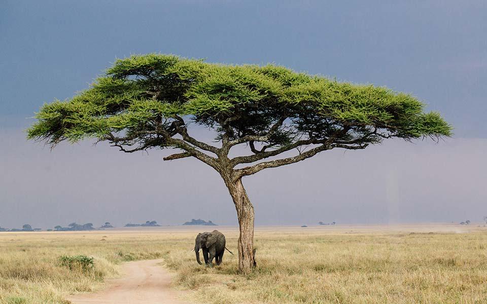 Elephant-acacia tree-serengeti