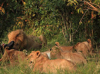 Marsh Lion pride feeding on a buffalo during migration