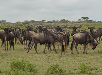 wildebeest migration in the serengeti ft image