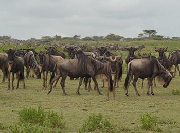 wildebeest migration in the serengeti ft image