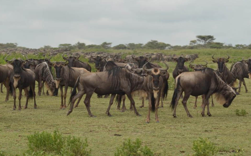 a group of wildebeest migration in the serengeti